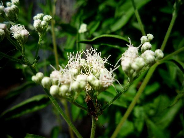 Lateflowering Thoroughwort (Eupatorium Serotinum) https://www.sagebud.com/lateflowering-thoroughwort-eupatorium-serotinum/