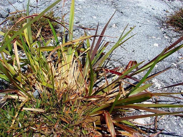 Fingergrass (Eustachys) https://www.sagebud.com/fingergrass-eustachys