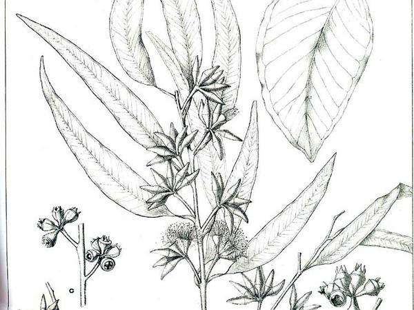 Forest Redgum (Eucalyptus Tereticornis) https://www.sagebud.com/forest-redgum-eucalyptus-tereticornis