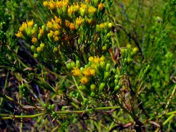 Goldentop (Euthamia) https://www.sagebud.com/goldentop-euthamia