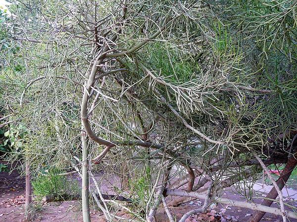 Indiantree Spurge (Euphorbia Tirucalli) https://www.sagebud.com/indiantree-spurge-euphorbia-tirucalli
