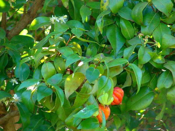 Surinam Cherry (Eugenia Uniflora) https://www.sagebud.com/surinam-cherry-eugenia-uniflora