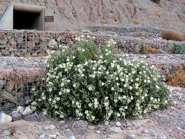 Desert Stingbush (Eucnide Urens) https://www.sagebud.com/desert-stingbush-eucnide-urens