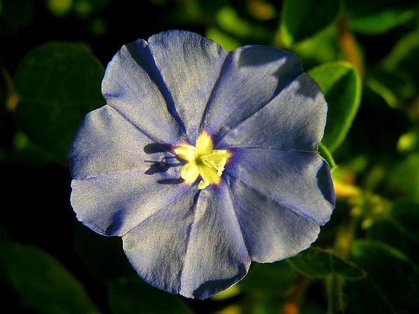 Shaggy Dwarf Morning-Glory (Evolvulus Nuttallianus) https://www.sagebud.com/shaggy-dwarf-morning-glory-evolvulus-nuttallianus