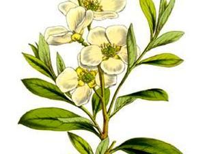 Pearlbrush