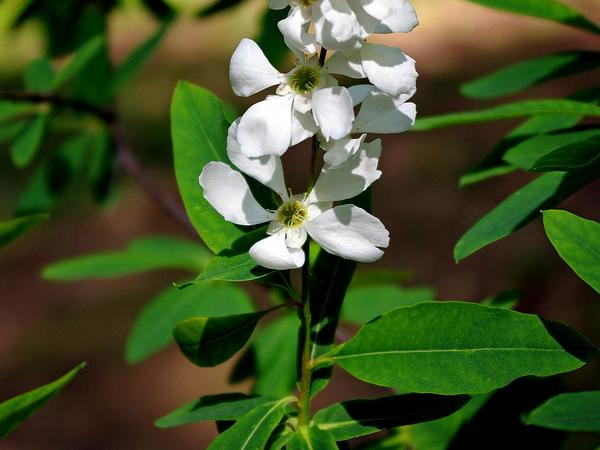 Common Pearlbrush (Exochorda Racemosa) https://www.sagebud.com/common-pearlbrush-exochorda-racemosa