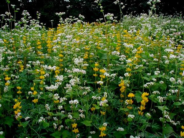 Buckwheat (Fagopyrum Esculentum) https://www.sagebud.com/buckwheat-fagopyrum-esculentum