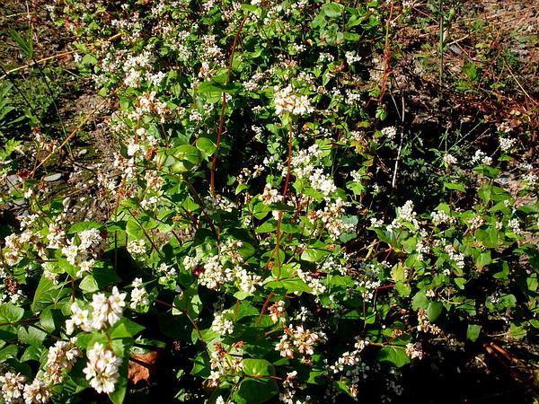 Buckwheat (Fagopyrum) https://www.sagebud.com/buckwheat-fagopyrum/
