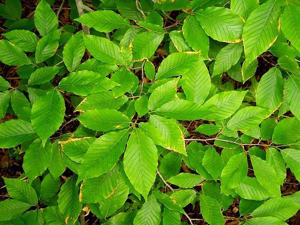 American Beech (Fagus Grandifolia) https://www.sagebud.com/american-beech-fagus-grandifolia/