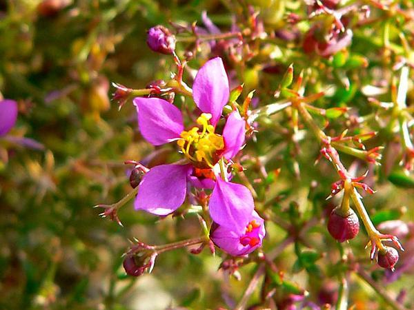 California Fagonbush (Fagonia Laevis) https://www.sagebud.com/california-fagonbush-fagonia-laevis