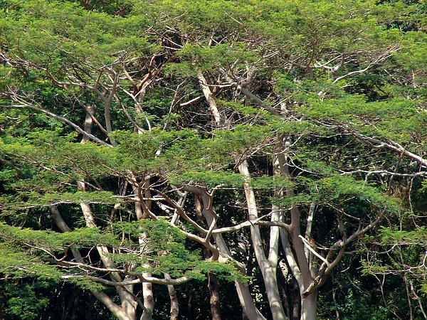 Peacocksplume (Falcataria Moluccana) https://www.sagebud.com/peacocksplume-falcataria-moluccana