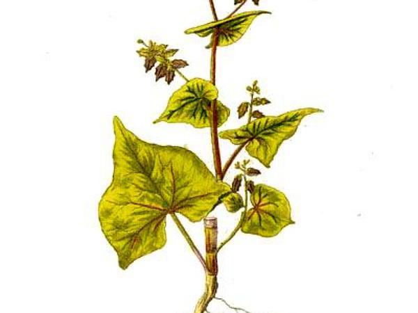 Tartary Buckwheat (Fagopyrum Tataricum) https://www.sagebud.com/tartary-buckwheat-fagopyrum-tataricum