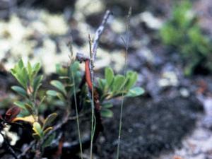 Alpine Fescue