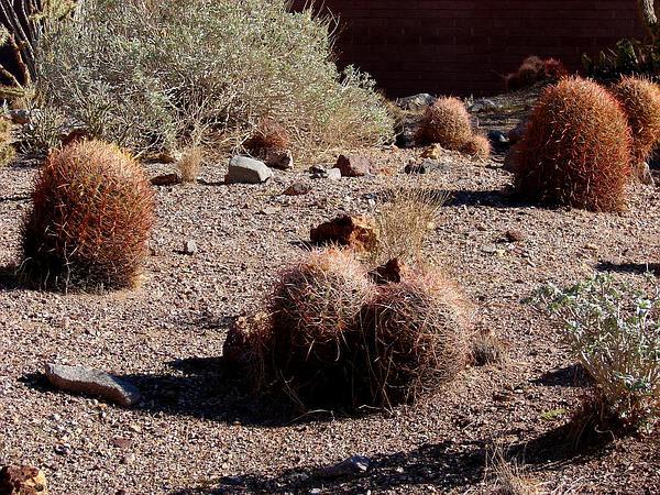 California Barrel Cactus (Ferocactus Cylindraceus) https://www.sagebud.com/california-barrel-cactus-ferocactus-cylindraceus