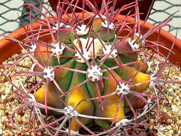 Emory's Barrel Cactus (Ferocactus Emoryi) https://www.sagebud.com/emorys-barrel-cactus-ferocactus-emoryi