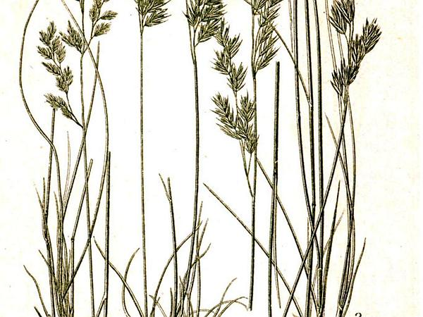 Variousleaf Fescue (Festuca Heterophylla) https://www.sagebud.com/variousleaf-fescue-festuca-heterophylla/