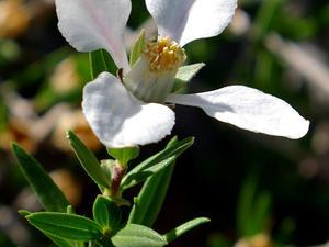 Fendlerbush