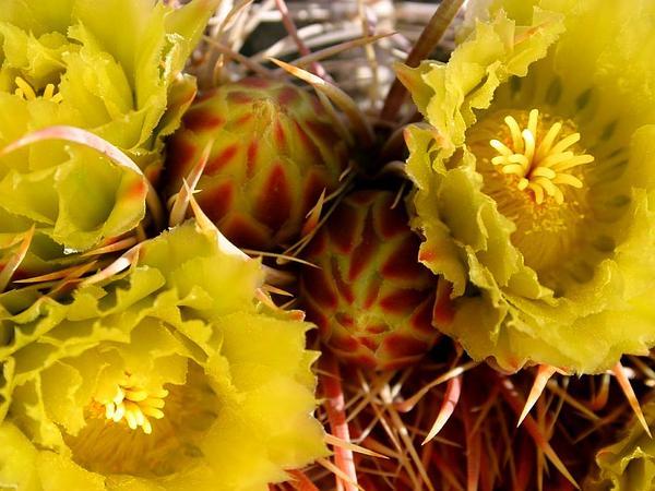 Barrel Cactus (Ferocactus) https://www.sagebud.com/barrel-cactus-ferocactus
