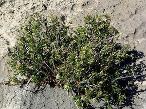 Utah Fendlerbush