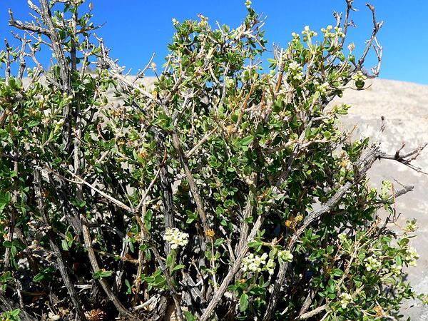 Utah Fendlerbush (Fendlerella Utahensis) https://www.sagebud.com/utah-fendlerbush-fendlerella-utahensis