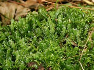 Fissidens Moss