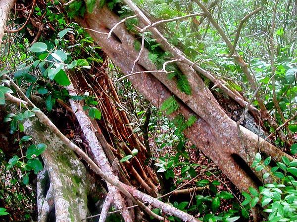 Florida Strangler Fig (Ficus Aurea) https://www.sagebud.com/florida-strangler-fig-ficus-aurea
