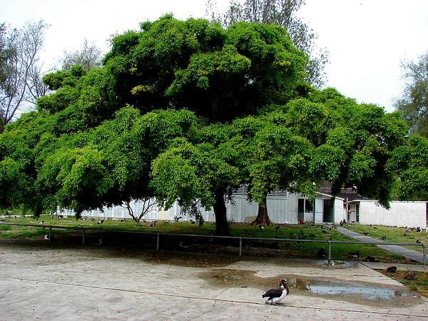Weeping Fig (Ficus Benjamina) https://www.sagebud.com/weeping-fig-ficus-benjamina