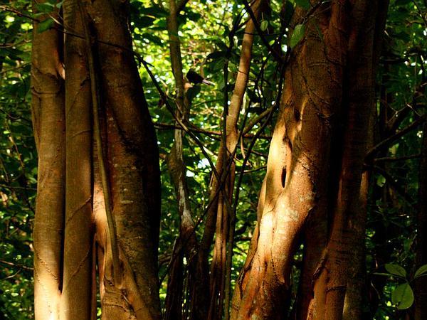 Indian Banyan (Ficus Benghalensis) https://www.sagebud.com/indian-banyan-ficus-benghalensis
