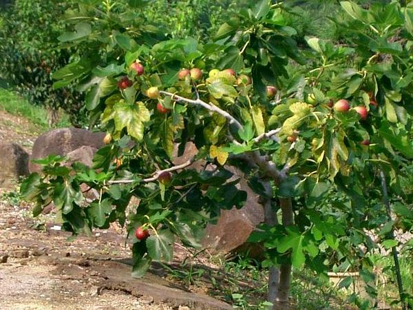 Edible Fig (Ficus Carica) https://www.sagebud.com/edible-fig-ficus-carica