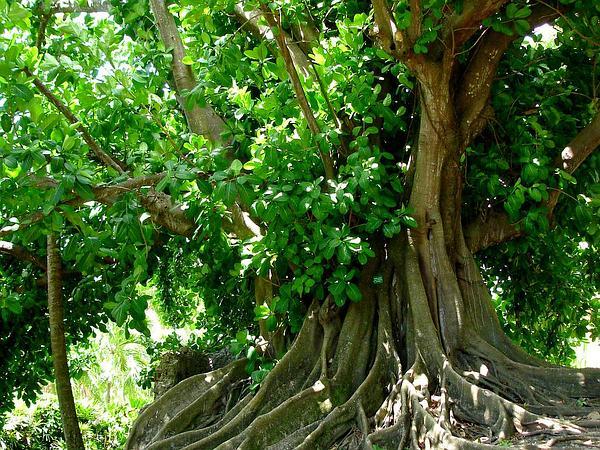 Wild Banyantree (Ficus Citrifolia) https://www.sagebud.com/wild-banyantree-ficus-citrifolia/