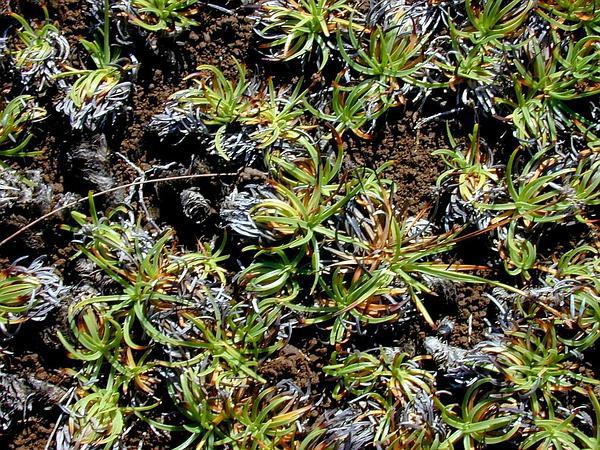 Tropical Fimbry (Fimbristylis Cymosa) https://www.sagebud.com/tropical-fimbry-fimbristylis-cymosa