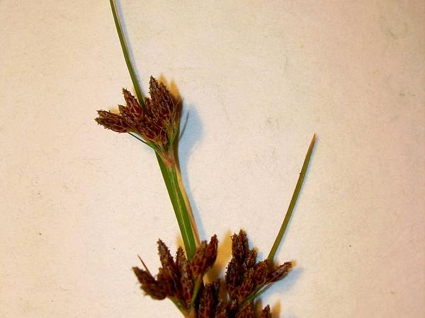 Forked Fimbry (Fimbristylis Dichotoma) https://www.sagebud.com/forked-fimbry-fimbristylis-dichotoma