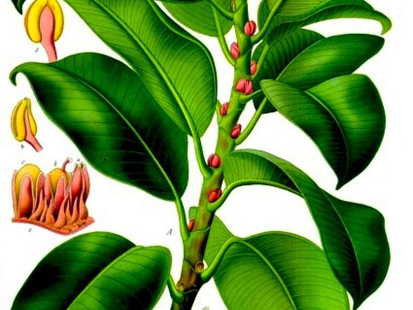 Indian Rubberplant (Ficus Elastica) https://www.sagebud.com/indian-rubberplant-ficus-elastica