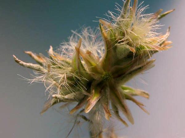 Cottonrose (Filago) https://www.sagebud.com/cottonrose-filago