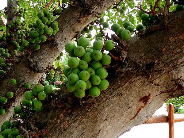 Lagos Rubbertree (Ficus Lutea) https://www.sagebud.com/lagos-rubbertree-ficus-lutea