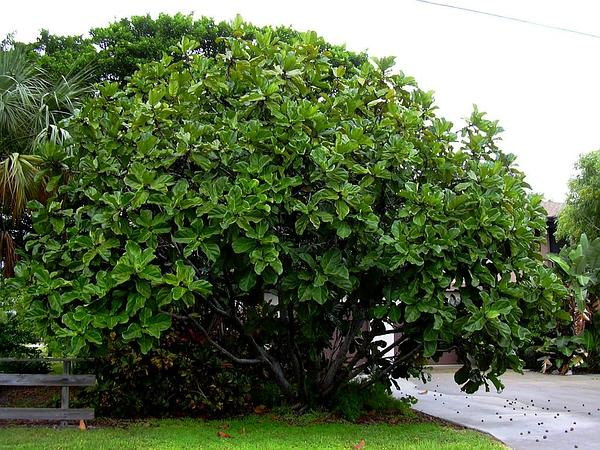 Fiddleleaf Fig (Ficus Lyrata) https://www.sagebud.com/fiddleleaf-fig-ficus-lyrata