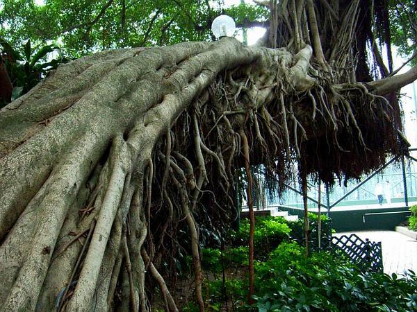 Chinese Banyan (Ficus Microcarpa) https://www.sagebud.com/chinese-banyan-ficus-microcarpa