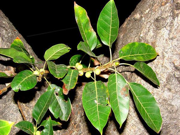 Tibig (Ficus Nota) https://www.sagebud.com/tibig-ficus-nota
