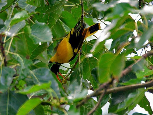 Peepul Tree (Ficus Religiosa) https://www.sagebud.com/peepul-tree-ficus-religiosa