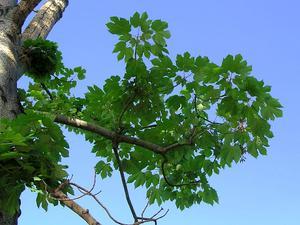 Chinese Parasoltree
