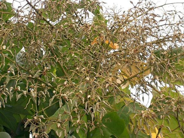 Chinese Parasoltree (Firmiana Simplex) https://www.sagebud.com/chinese-parasoltree-firmiana-simplex/