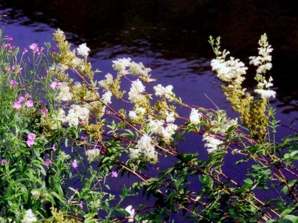 Queen Of The Meadow (Filipendula Ulmaria) https://www.sagebud.com/queen-of-the-meadow-filipendula-ulmaria