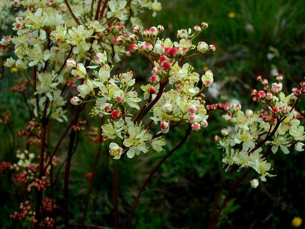 Dropwort (Filipendula Vulgaris) https://www.sagebud.com/dropwort-filipendula-vulgaris/