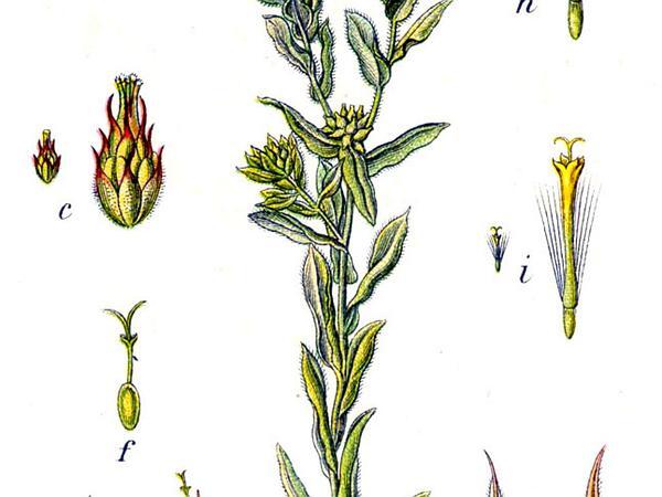 Common Cottonrose (Filago Vulgaris) https://www.sagebud.com/common-cottonrose-filago-vulgaris