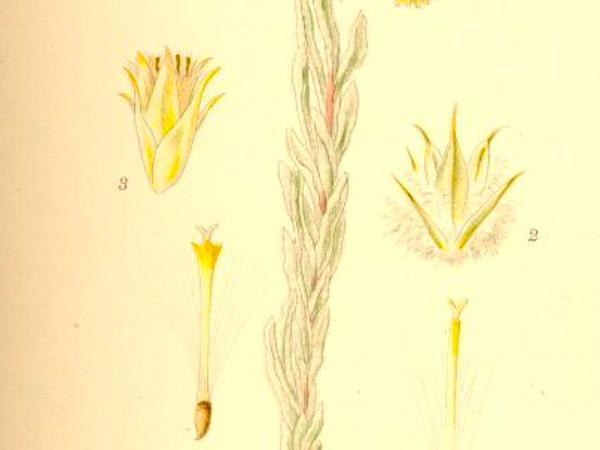 Common Cottonrose (Filago Vulgaris) https://www.sagebud.com/common-cottonrose-filago-vulgaris/