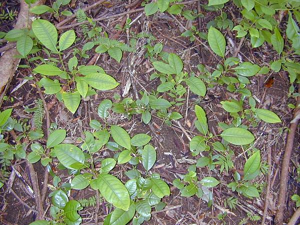 Queensland Maple (Flindersia Brayleyana) https://www.sagebud.com/queensland-maple-flindersia-brayleyana