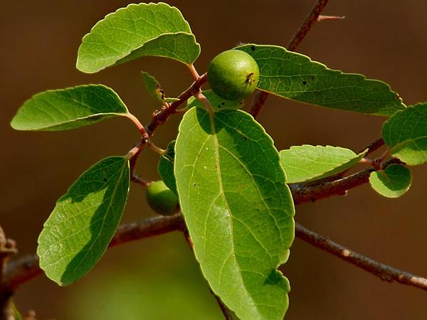 Governor's Plum (Flacourtia Indica) https://www.sagebud.com/governors-plum-flacourtia-indica