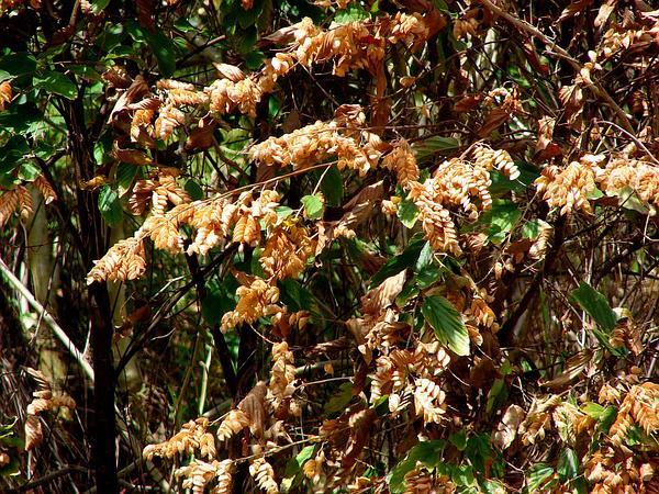 Wildhops (Flemingia Strobilifera) https://www.sagebud.com/wildhops-flemingia-strobilifera