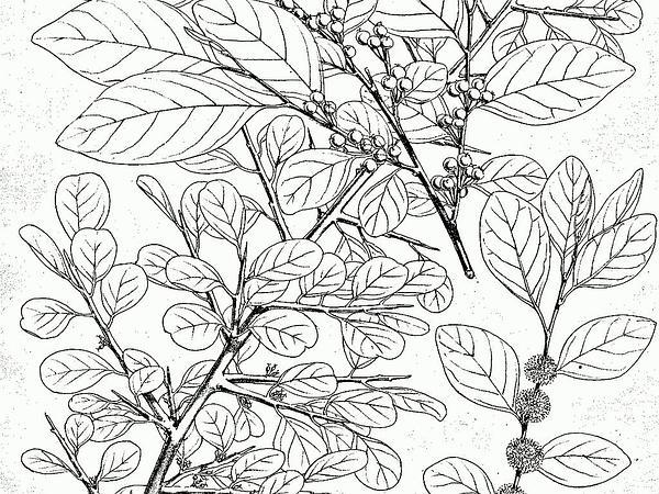Bushweed (Flueggea) https://www.sagebud.com/bushweed-flueggea
