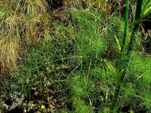 Fennel (Foeniculum) https://www.sagebud.com/fennel-foeniculum